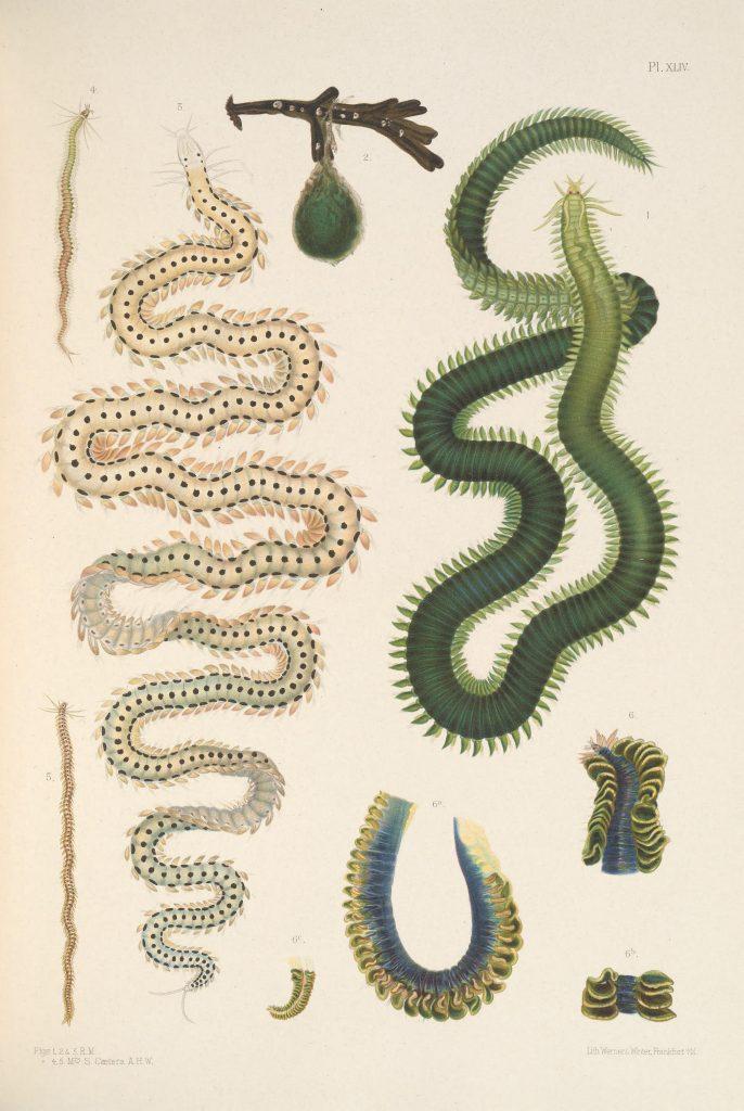 Illustration of Green-leaf Worm (Eulalia viridis), Eulalia tripunctata, Eumida sanguinea, and Nereiphylla paretti.