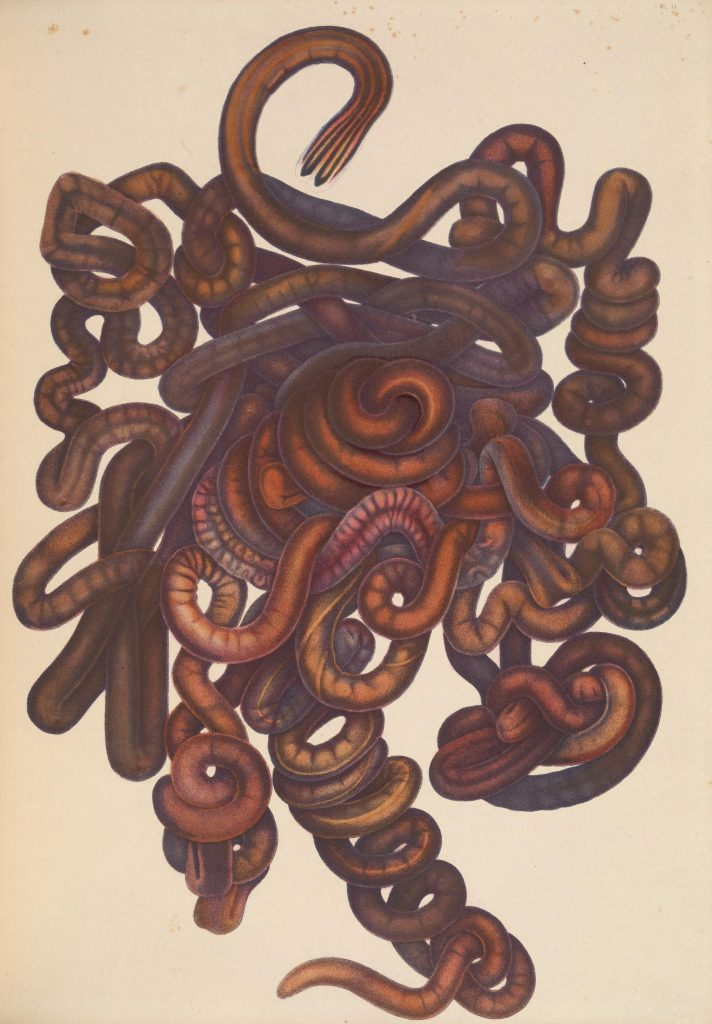 Illustration of the bootlace worm (Lineus longissimus)