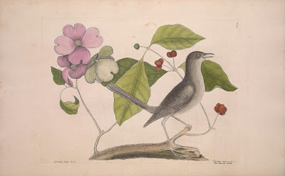 Cornus Florida And Northern Mockingbird Mimus Polyglottos Catesby Mark The Natural History Of Carolina Bahama Islands V 1 Ed