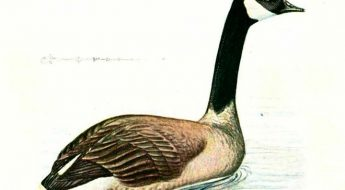 illustration of a goose in water