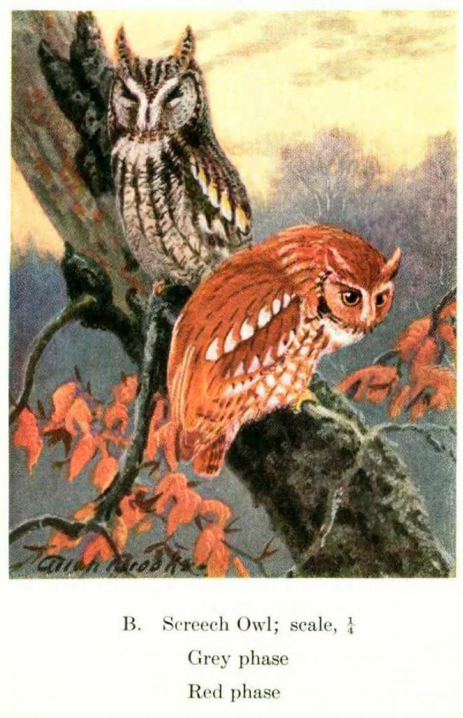 screech owls in a tree