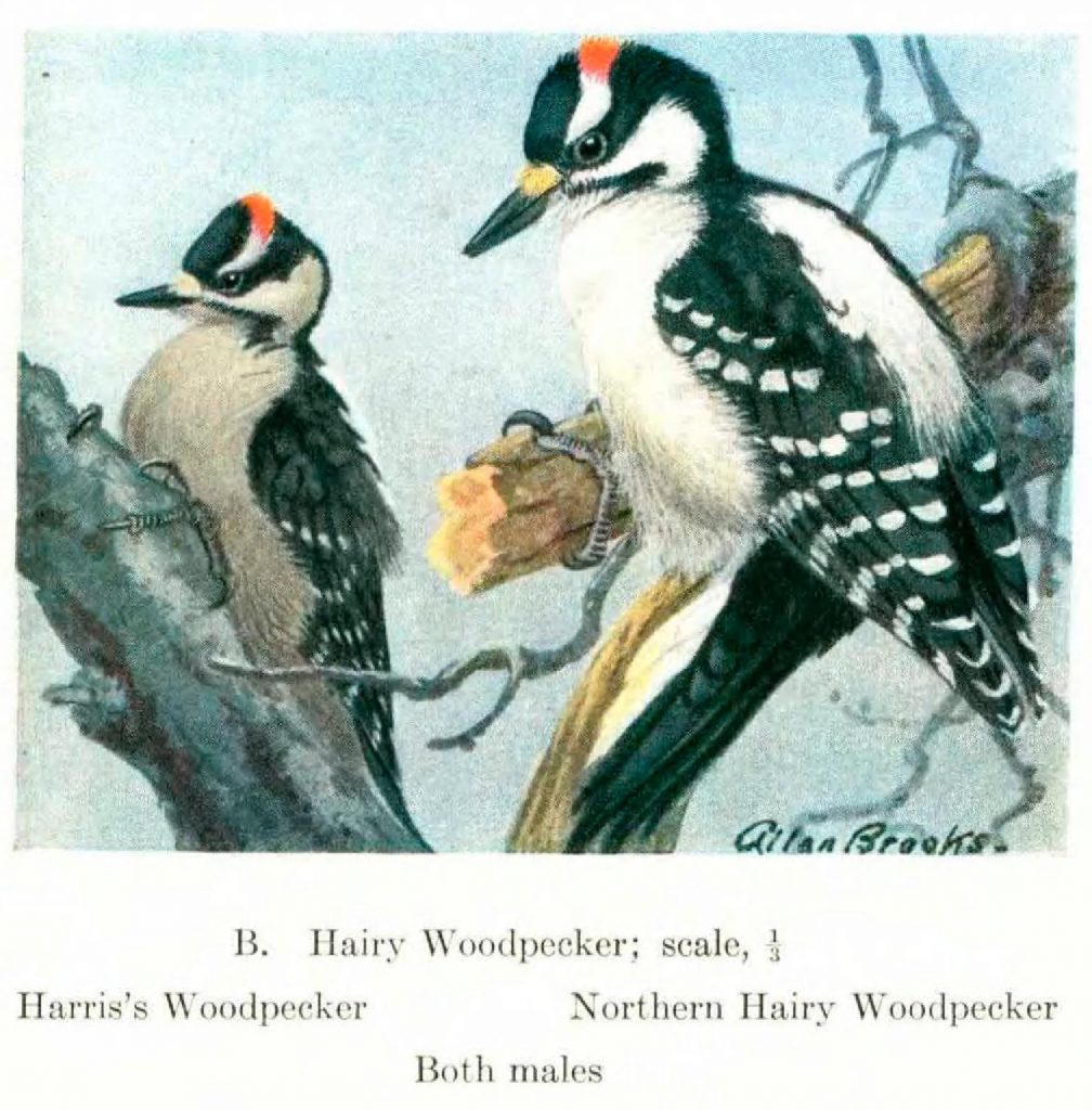 illustration of two woodpeckers