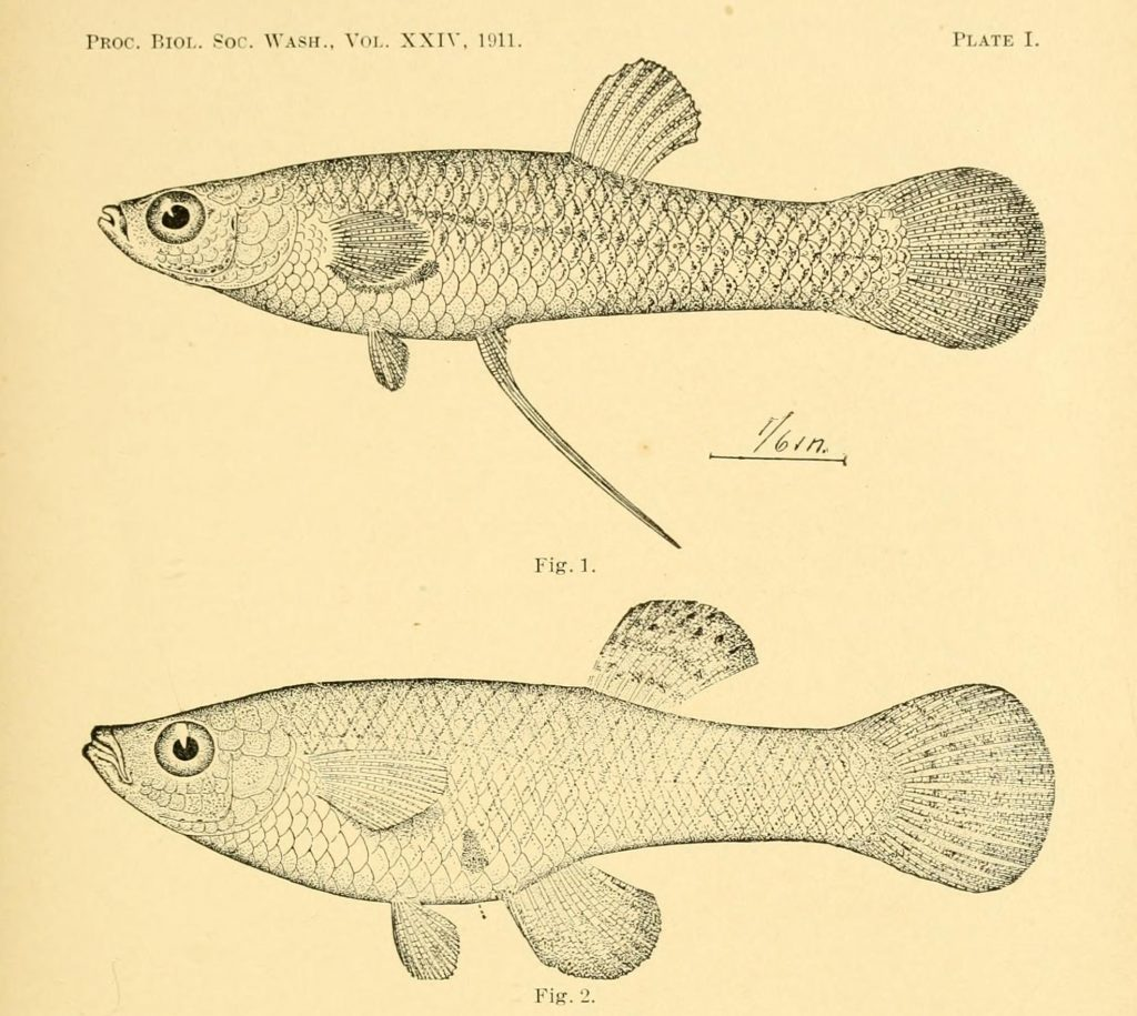 Black and white illustration of fish.