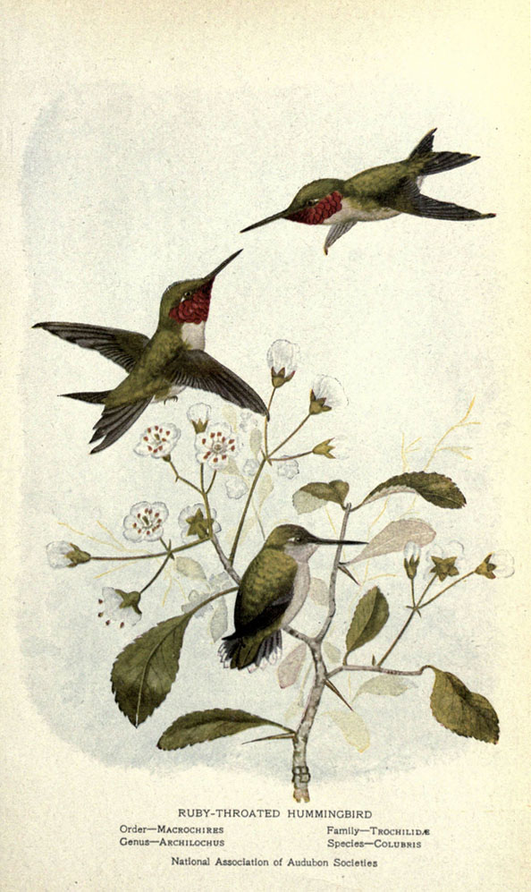 illustration of two hummingbirds