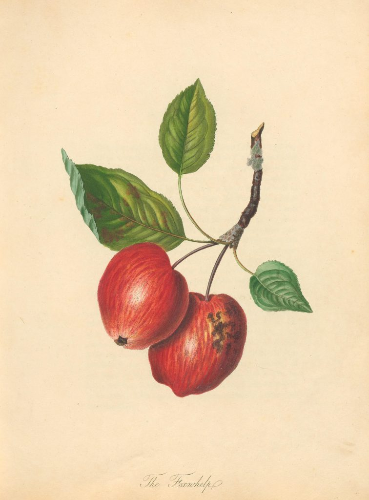 "Illustration of two red apples with caption ""The Foxwhelp."""