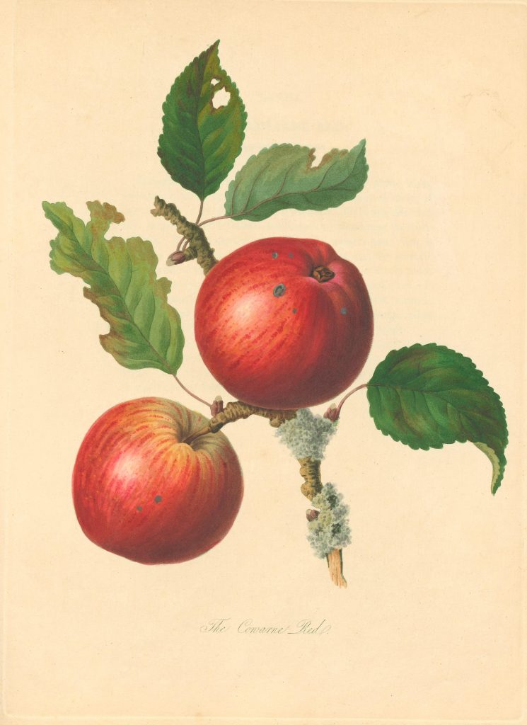 "Illustration of two red apples on a vine with the caption ""The Cowarne Red"""