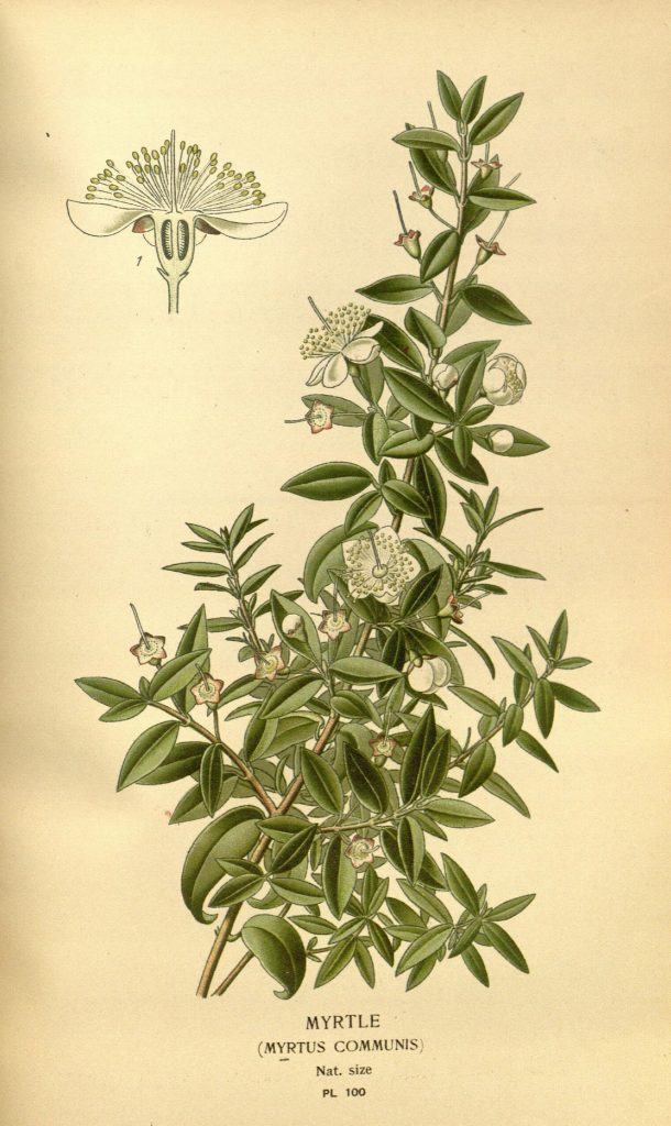 illustration of myrtle (Myrtus communis)