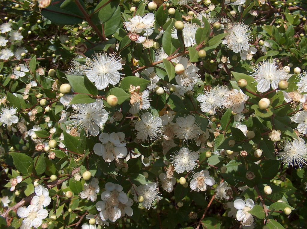 Myrtle The Provenance And Meaning Of A Plant Smithsonian Libraries Unbound