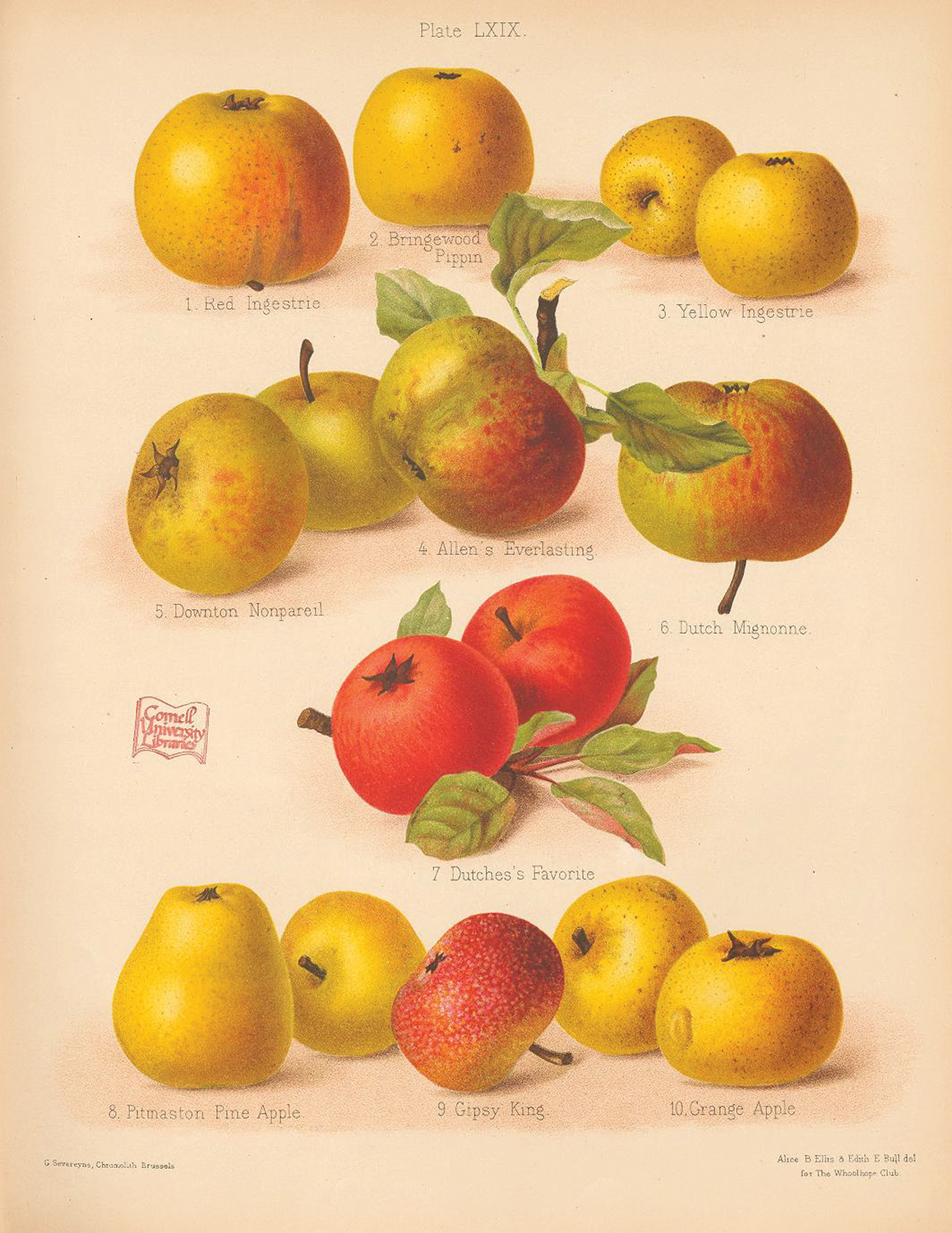 Illustration of a variety of apple cultivars