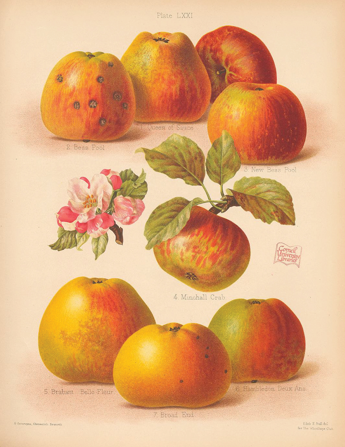 Illustration of various apple cultivars