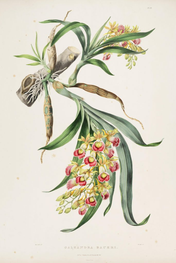Plate 19. Bateman, James. The Orchidaceae of Mexico and Guatemala. Illustration drawn by Sarah Anne Drake and lithographed by Maxim Gauci. Contributed in BHL by the Peter H. Raven Library of the Missouri Botanical Garden.