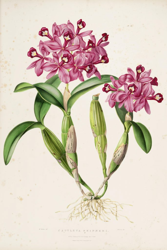 Plate 13. Bateman, James. The Orchidaceae of Mexico and Guatemala. Illustration drawn by Augusta Withers and lithographed by Maxim Gauci. Contributed in BHL by the Peter H. Raven Library of the Missouri Botanical Garden.