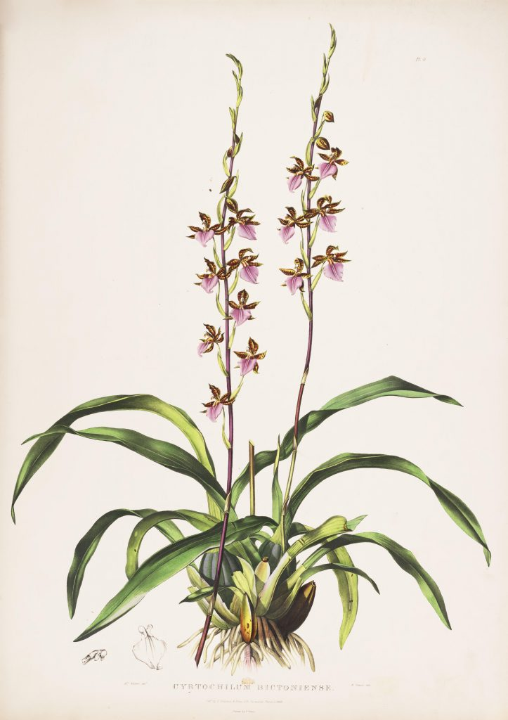 Plate 6. Bateman, James. The Orchidaceae of Mexico and Guatemala. Illustration drawn by Augusta Withers and lithographed by Maxim Gauci. Contributed in BHL by the Peter H. Raven Library of the Missouri Botanical Garden.
