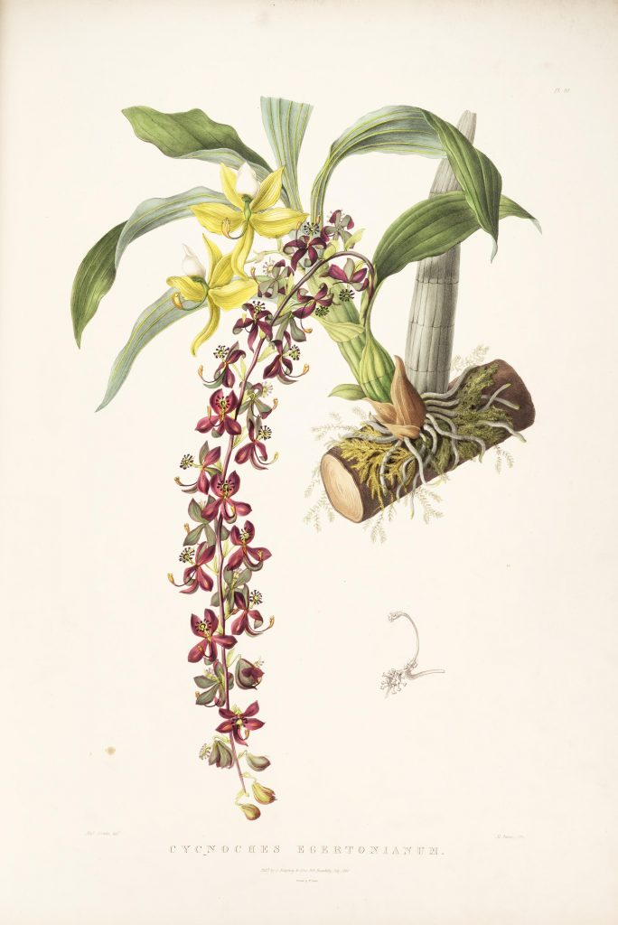 Plate 40. Bateman, James. The Orchidaceae of Mexico and Guatemala. Illustration drawn by Sarah Anne Drake and lithographed by Maxim Gauci. Contributed in BHL by the Peter H. Raven Library of the Missouri Botanical Garden.