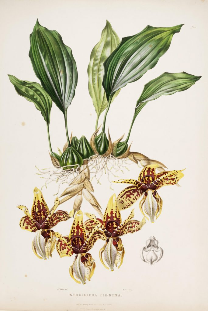 Plate 7. Bateman, James. The Orchidaceae of Mexico and Guatemala. Illustration drawn by Augusta Withers and lithographed by Maxim Gauci. Contributed in BHL by the Peter H. Raven Library of the Missouri Botanical Garden.