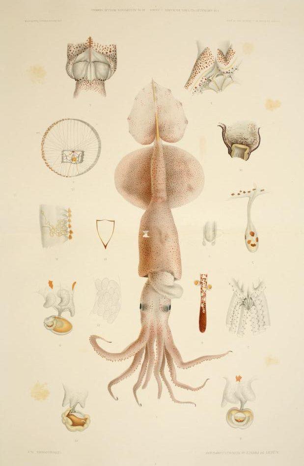 Illustration of a squid from R_sultats des campagnes scientifiques accomplies sur son yacht par Albert Ier_ prince souverain de Monaco.