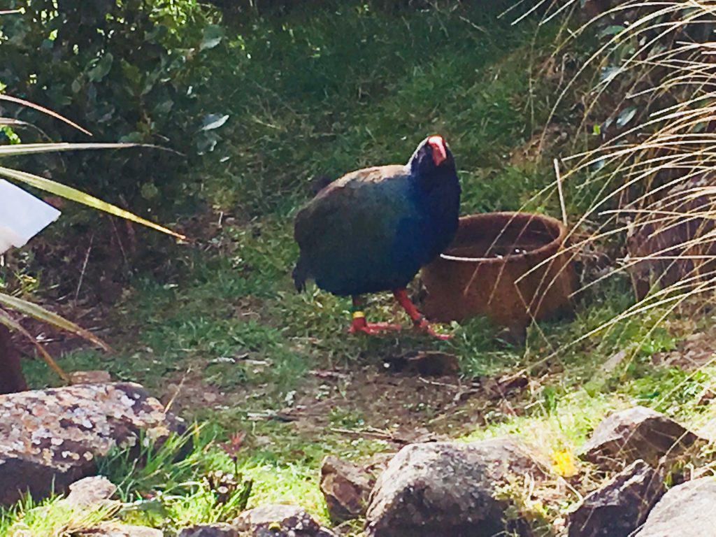 Takahē (Porphyrio hochstetteri) observed at the Orokonui Ecosanctuary.