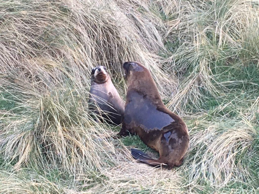 New Zealand sea lions (Phocarctos hookeri).