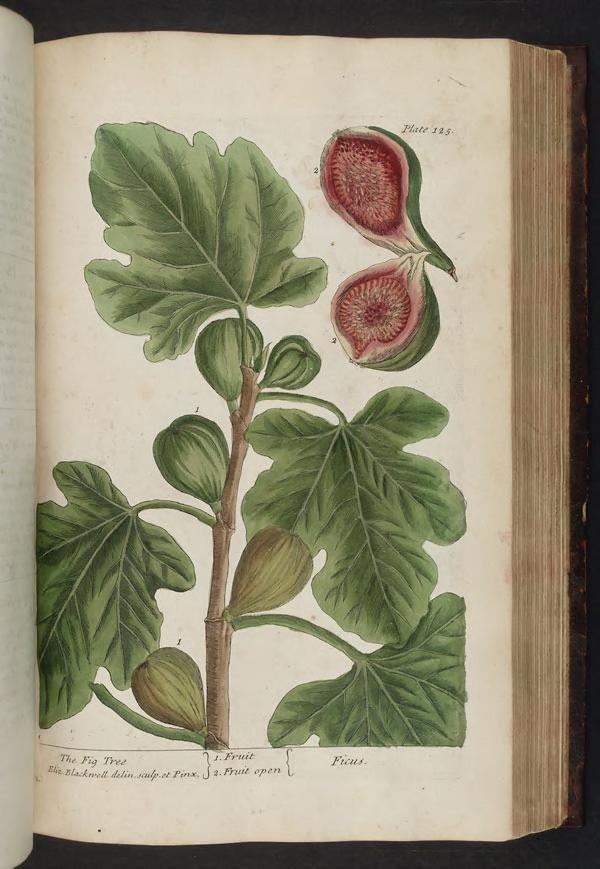 Illustration of fig tree