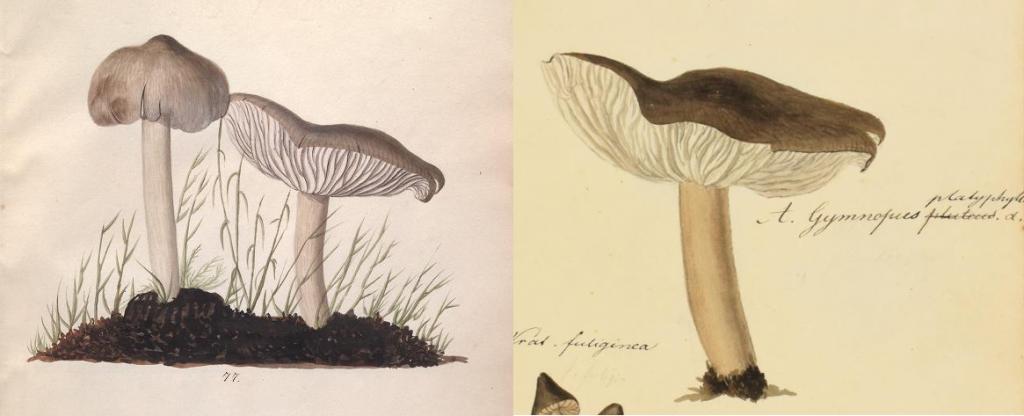 fungi illustrations