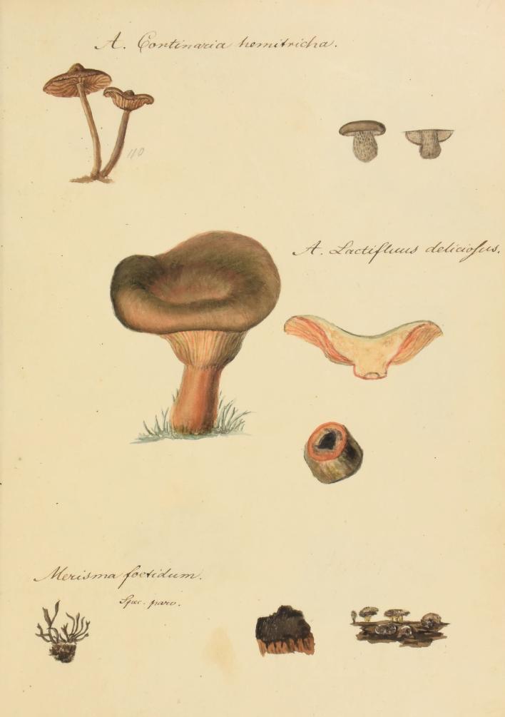 Original watercolors from Icones fungorum Niskiensium