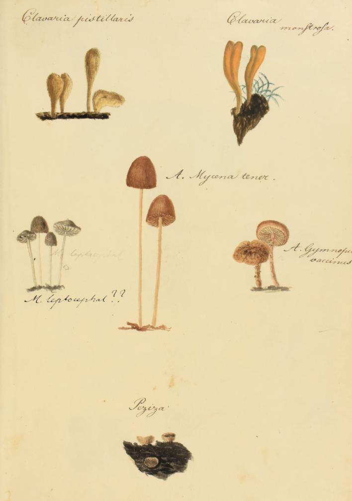 fungi illustrations