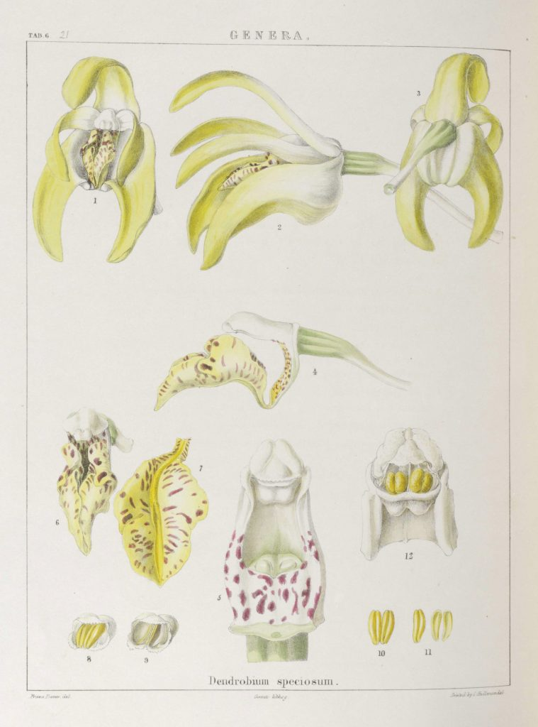 Illustrations of Orchidaceous plants