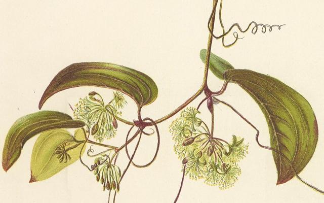 Indigenous Flowers of the Hawaiian Islands