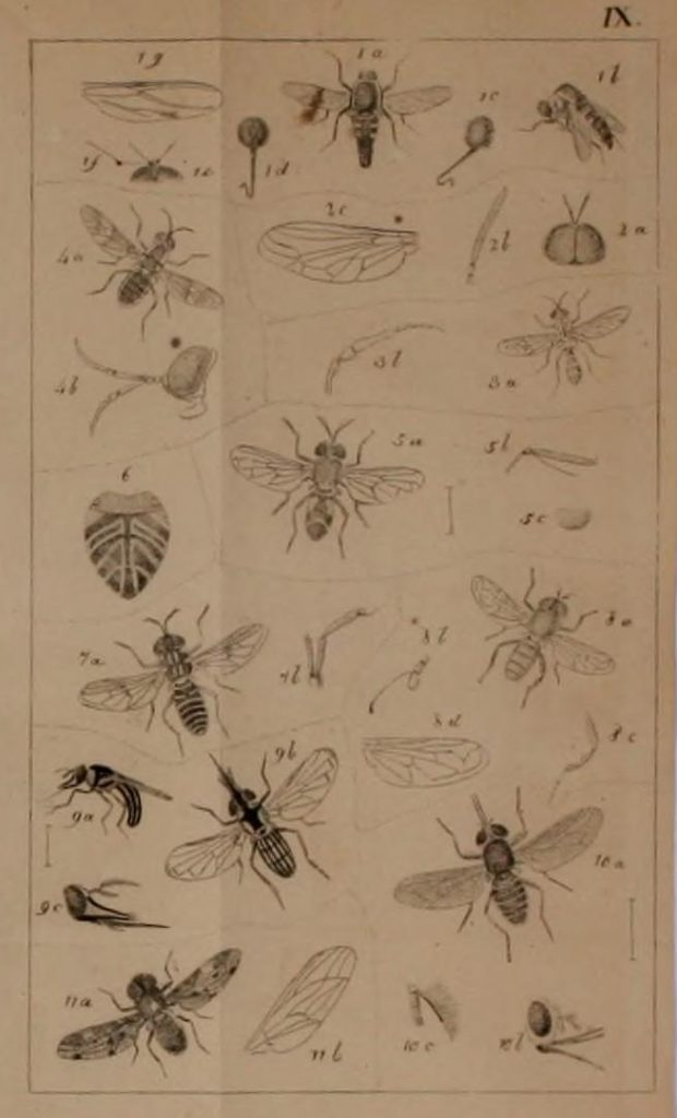 Illustration of flies.