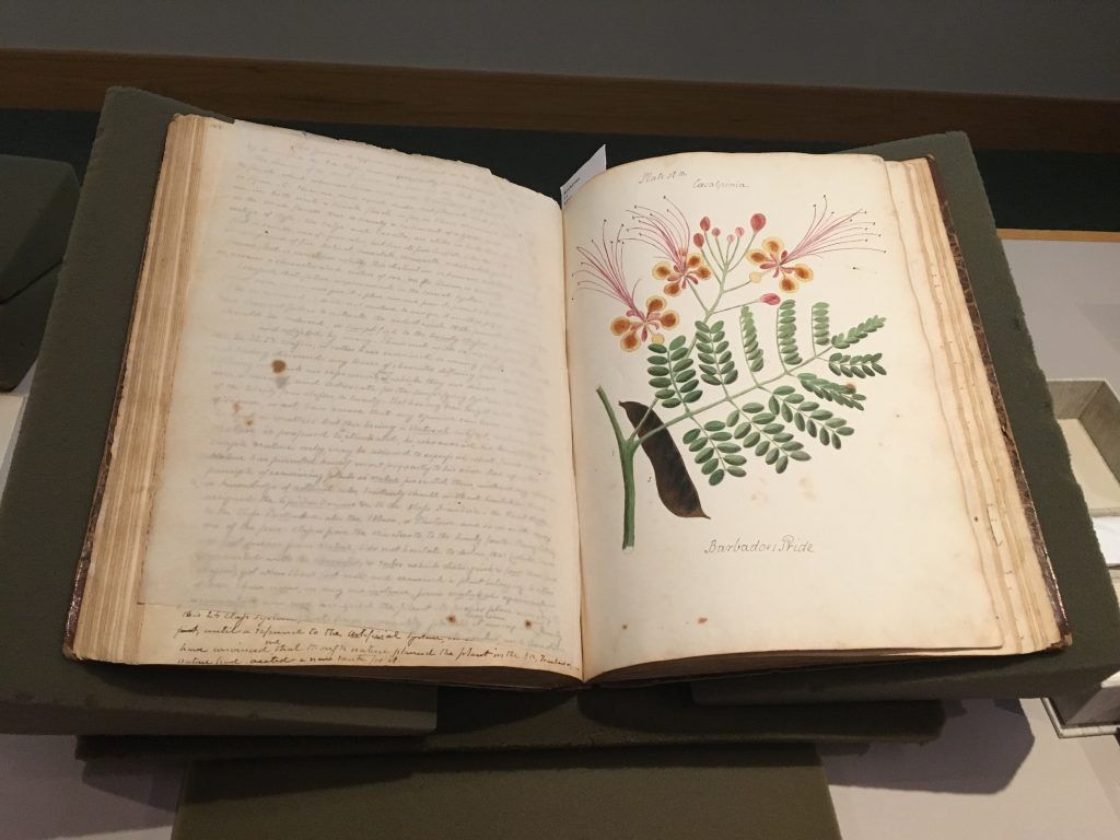 Photo of a manuscript open to a page with a drawing of a plant.