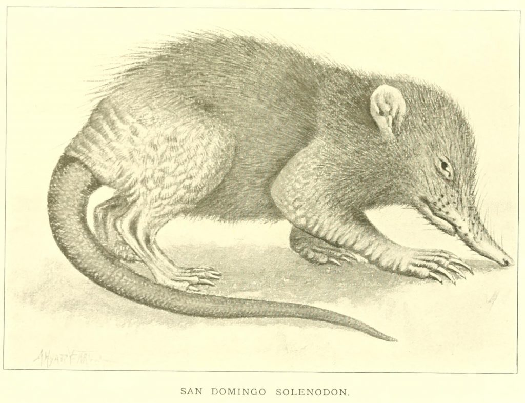 Illustration of the Hispaniolan solenodon (Solenodon paradoxus).