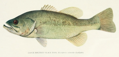 Illustration of a fish.