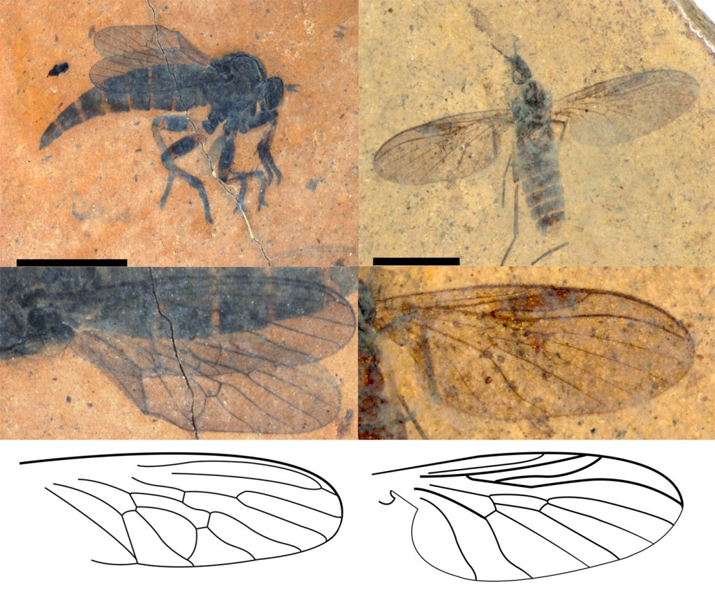 Photographs of fossil fly species