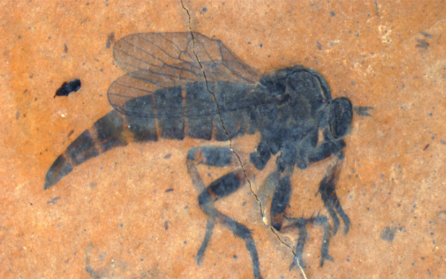 New Fossil Fly Species Named For BHL!
