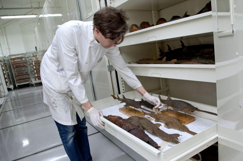 Man inspecting fish specimens in a museum drawer.