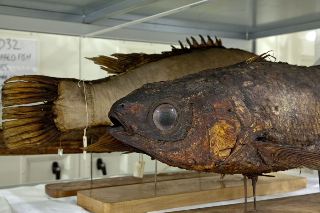 Photograph of a fish specimen.