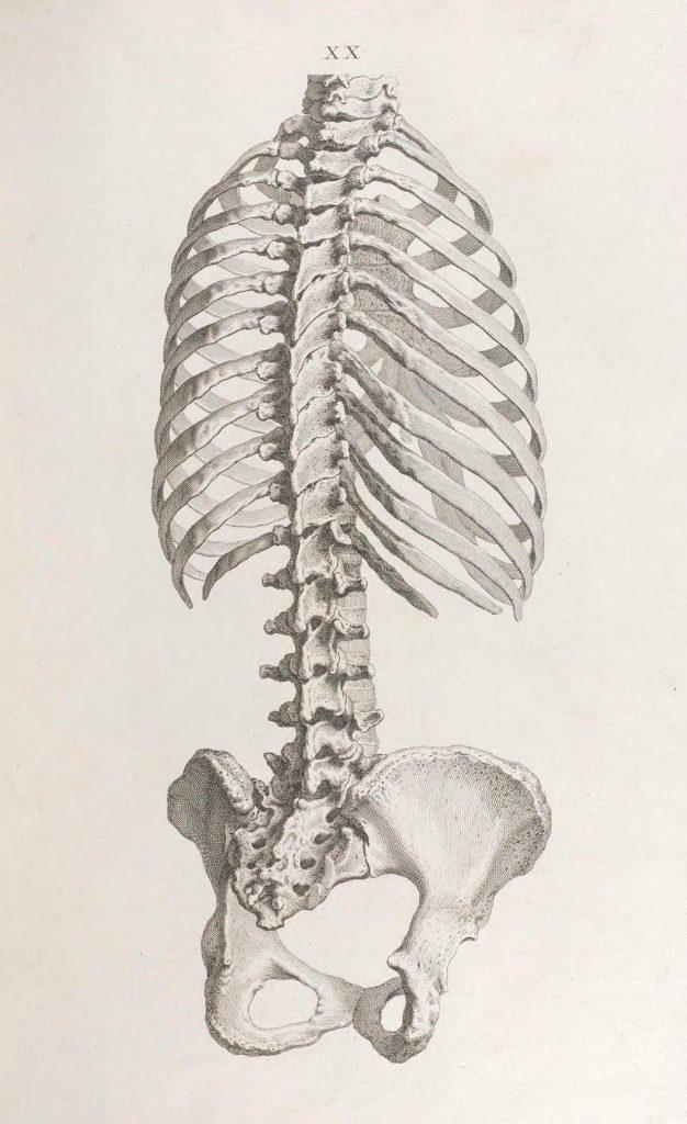 skeleton of the human torso