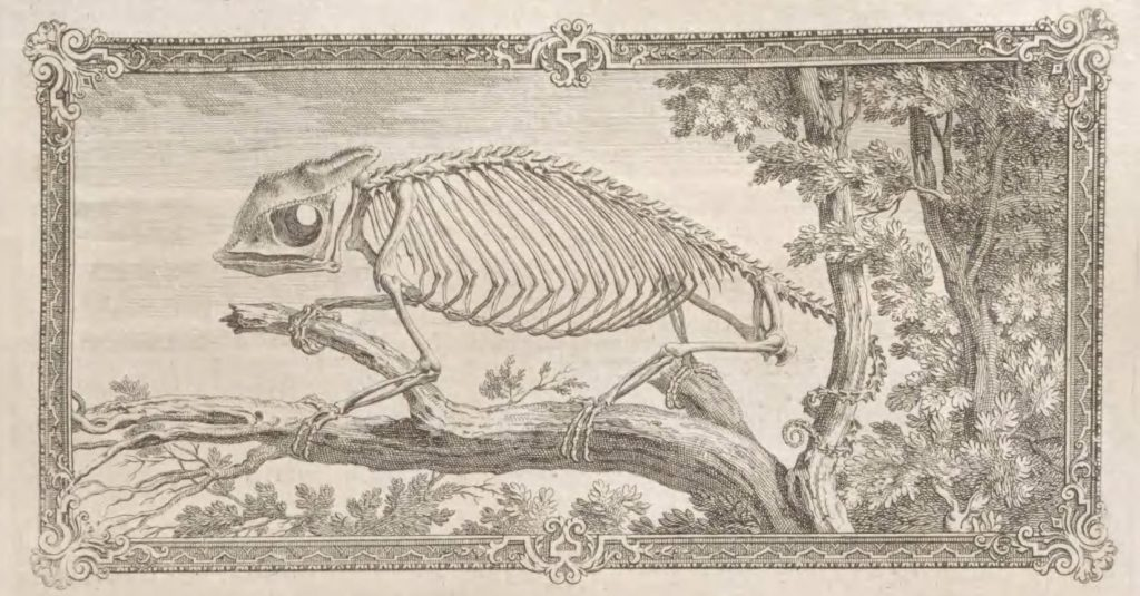 skeleton of a chameleon