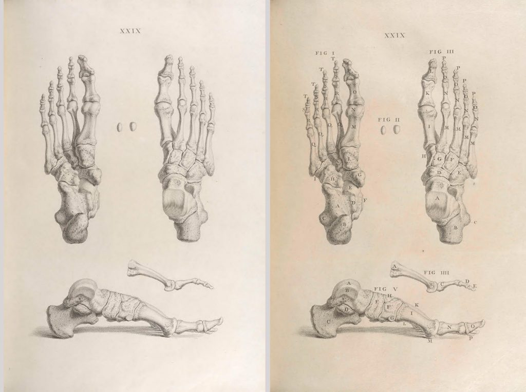 skeletons of human feet