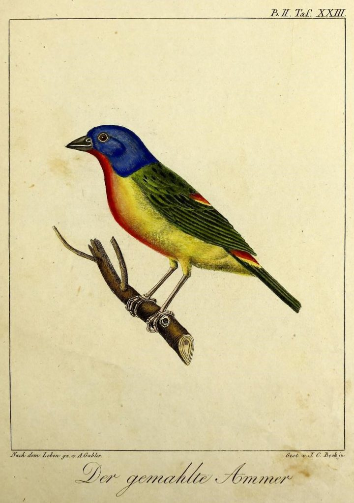 illustration of a blue, red, yellow and green bird