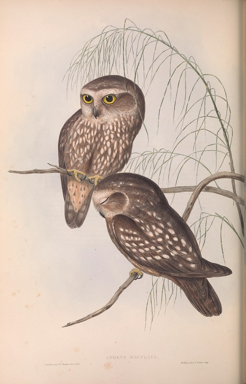 2. Plate Gould small.jpg