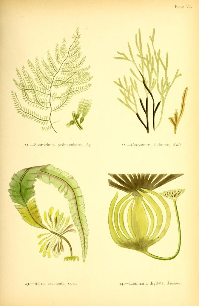 illustrations of seaweed