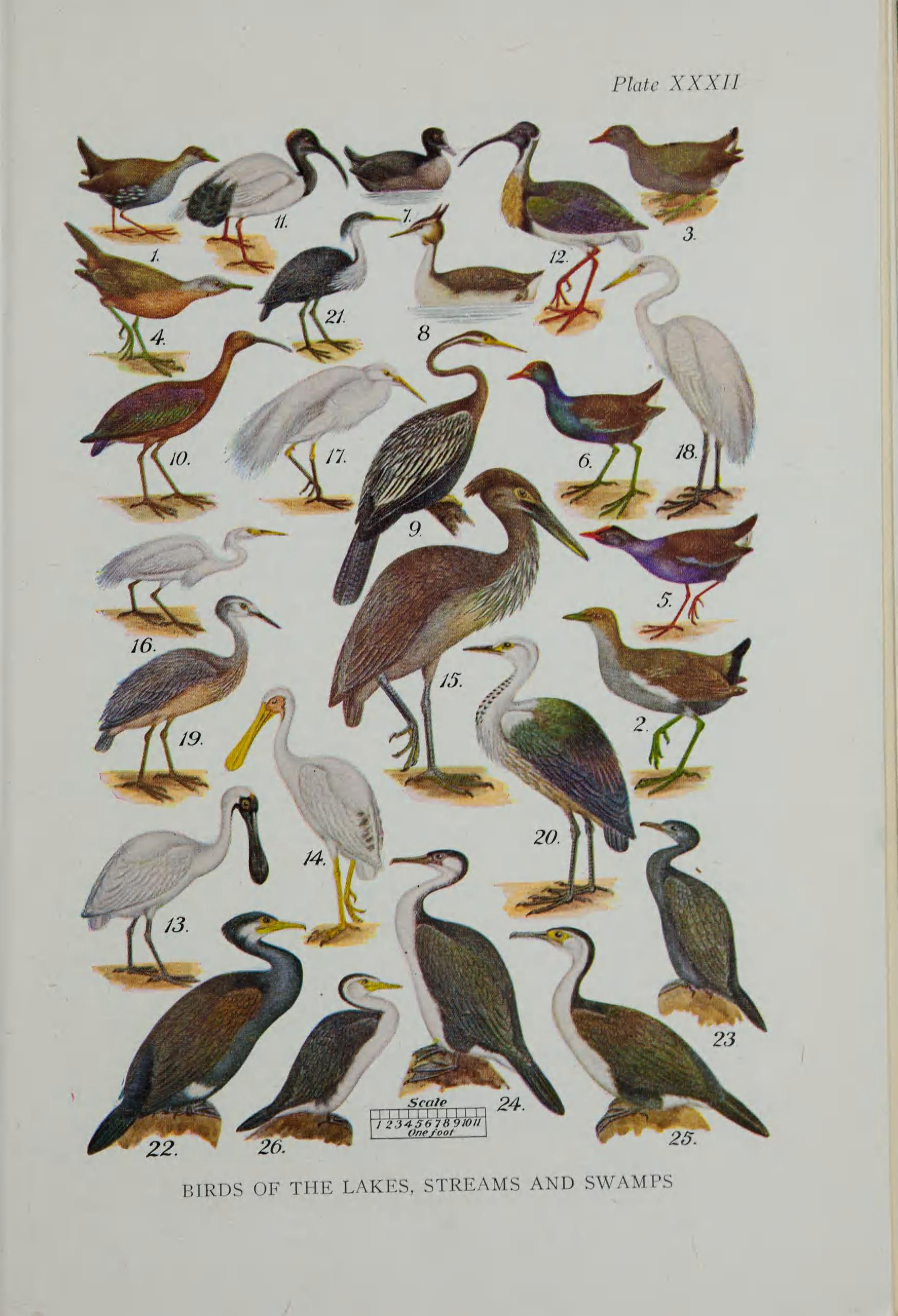 Collage of various birds illustrated in color.