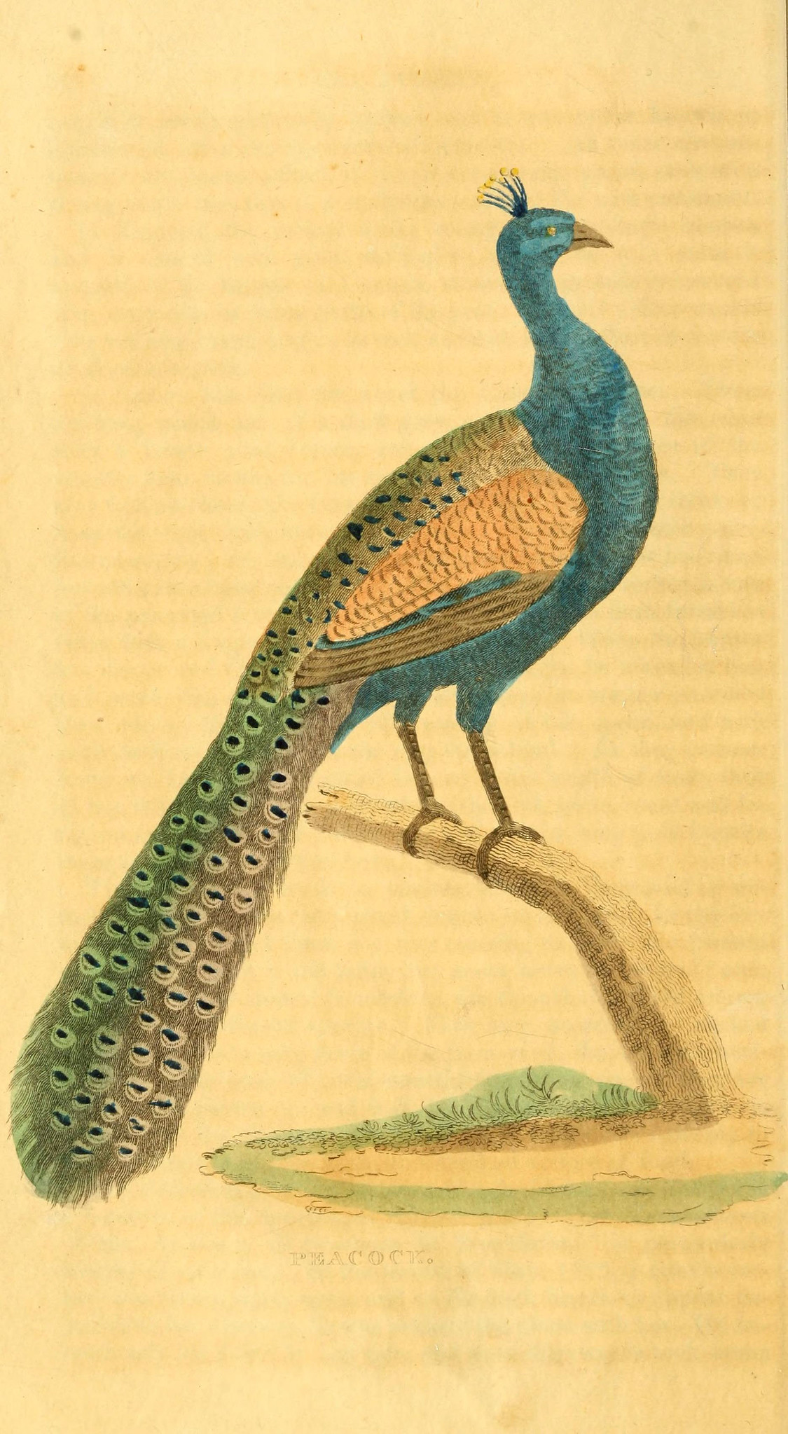 drawing of a blue bird with teal colored tail feathers standing on a branch