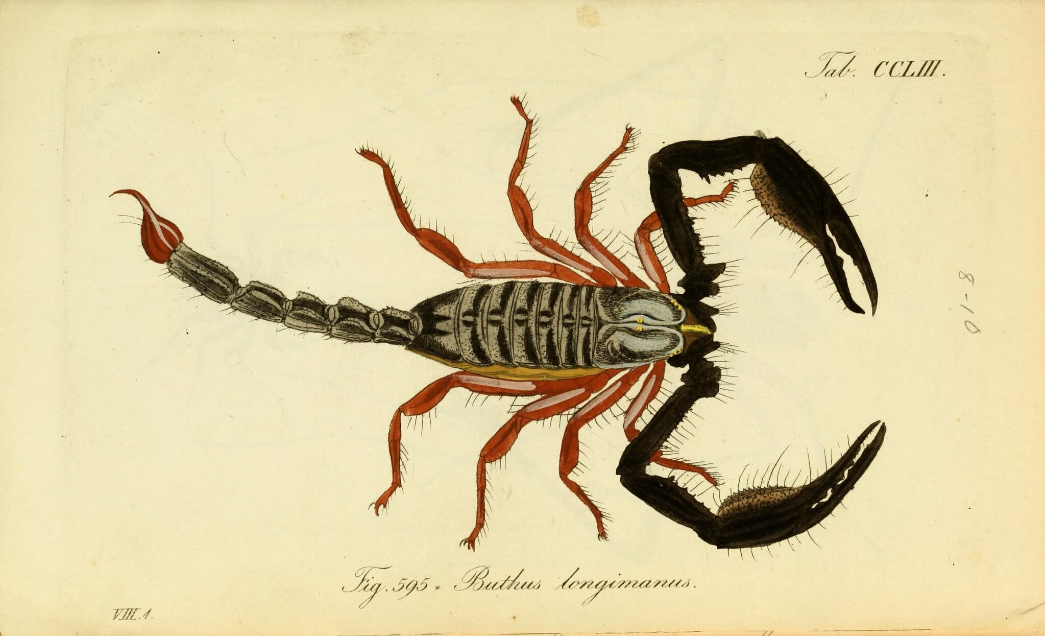 black and red scorpion