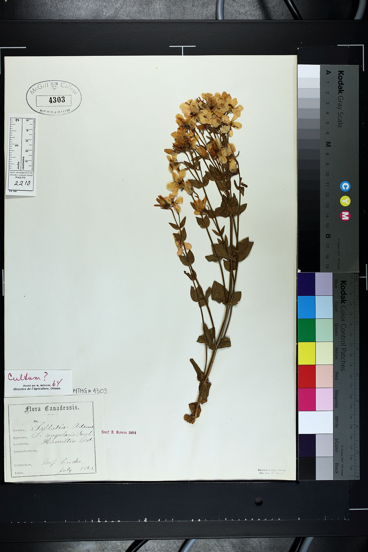 Photo of a yellow flower specimen on a herbarium sheet