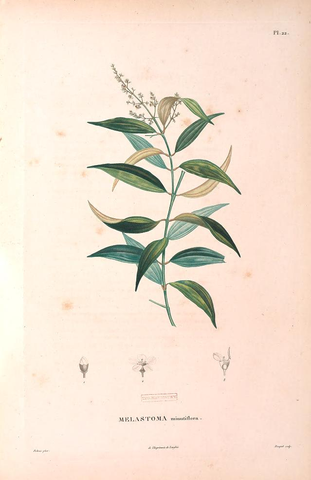 Plant with medium sized, flat green leaves and tiny white flowers.