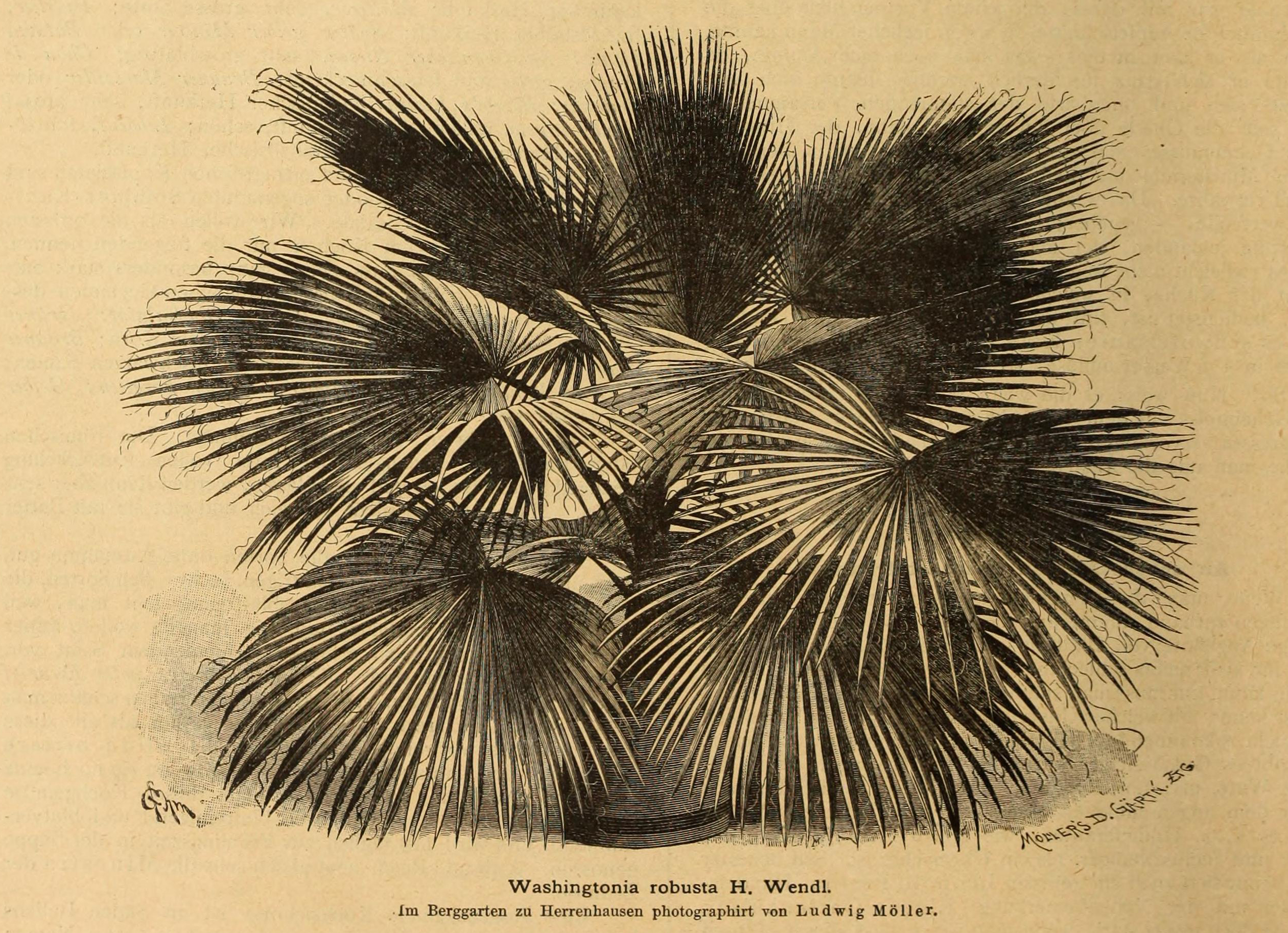 black and white illustration of a palm