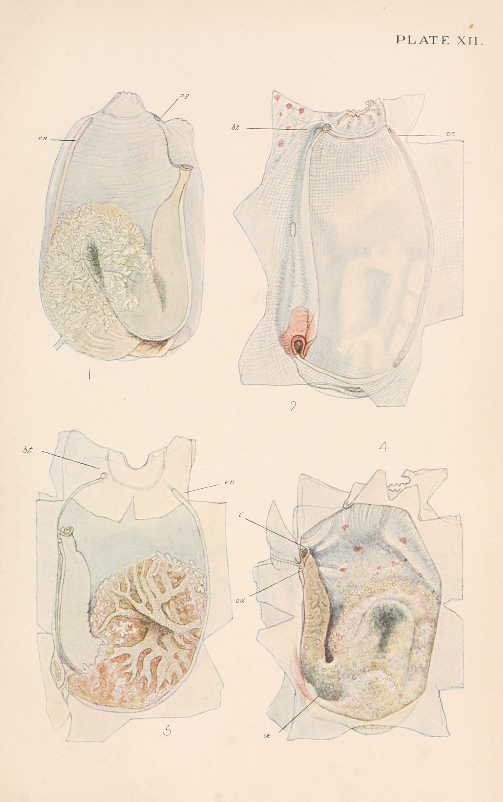 Dissected views of a sea squirt