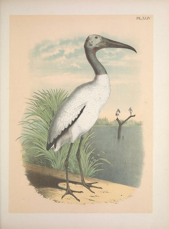 A large bird with a black head and feet and a white body standing on a sandy shoreline looking out at a pond. Green grass is behind the bird and in the pond, a branch extends from the water and two other birds sit on it.